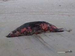 Tote Seelöwen stinken gegen den Wind.