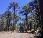 Araukanien - tolle Bäume!