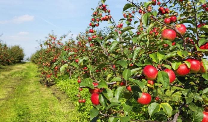 शिमला में सेब से लटा ट्रक दुर्घटनाग्रस्त, चालक की मौत - Panchayat Times