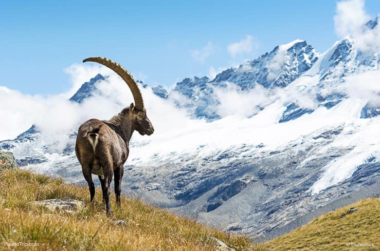 جبال الألب Ibex ، غران باراديسو الوطنية بارك ، إيطاليا