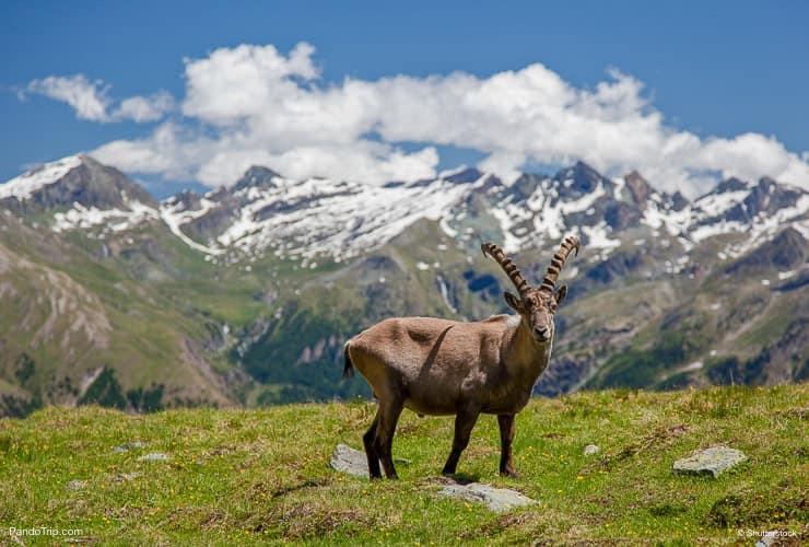 الماعز في غران باراديسو الحديقة الوطنية ، إيطاليا