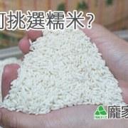 79-00-3如何挑選包粽子的糯米