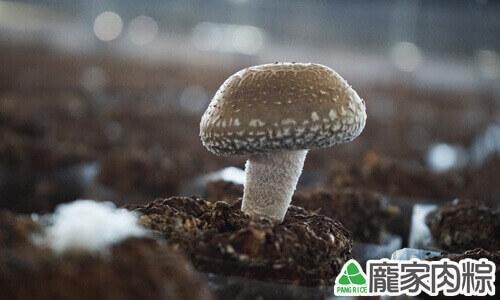 真空包栽培法種植的新社冬菇