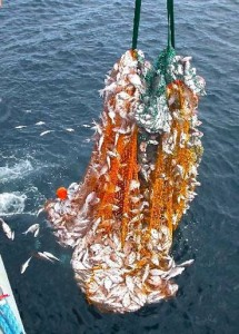 A commercial net full of undersize Snapper