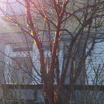 Glanskörsbär, Prunus Serrula
