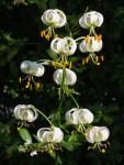 Vit Krollilja (Lilium martagon)