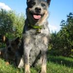 Behöver din hund vargpingla?