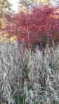 Underbara Oxbär som lyser upp tillvaron med sina färggranna blad och bär