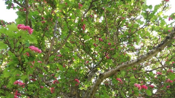rosenhagtorn