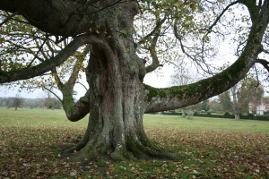 Heritage Tree in Godinton Park
