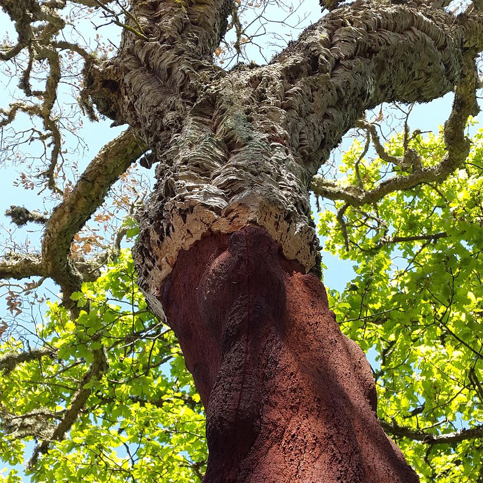 origini del sughero biondo Quercus suber