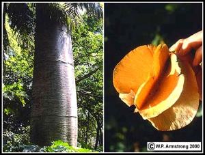 El árbol de macondo y su fruto / Foto: Penúltimas Noticias