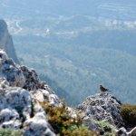 Es bastante habitual ver acentores alpinos en la cumbre del Cabeço