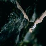 Murciélago de herradura