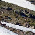 Cabras monteses junto a la estación