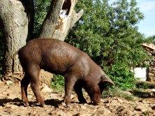 Cerdo pata negra en la casa del Molinillo