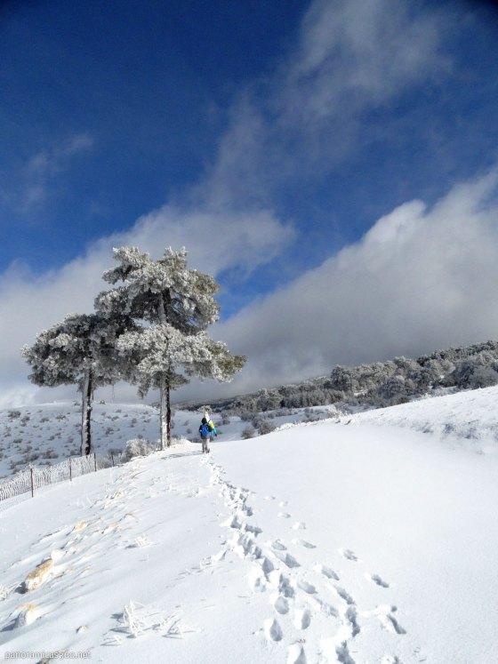 Nieve y pino larício durante nuestra excursión