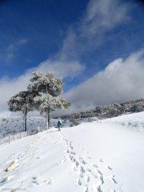 Nieve y pino laricio durante nuestra excursión