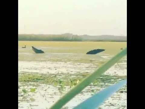 Crocodilo gigante é flagrado devorando patos e vídeo impressiona; veja vídeo