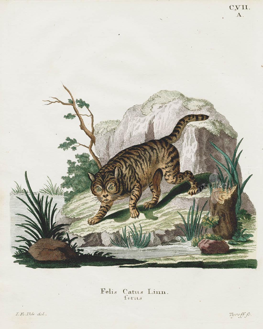 Johann Schreber Saugthiere In Abbildungen Mammal