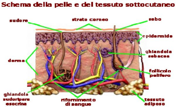 schema-pelle-e-tessuto-sottocutaneo
