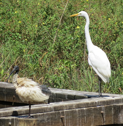 An Australian white ibis looking grubby next to a great egret.