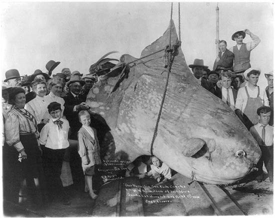 The monster sun fish caught by W.N. McMillan of E. Africa, at Santa Catalina Isl., Cal. April 1st, 1910. estimated wt. 3500 lbs. Courtesy of the Library of Congress.