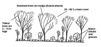 mature mulga structure