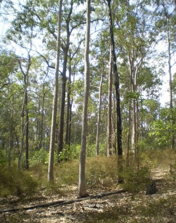 Spotted gum forest, Bunyaville.