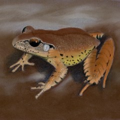 Fleay's barred frog – Greeting card