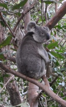 Koala at Mt Mee.