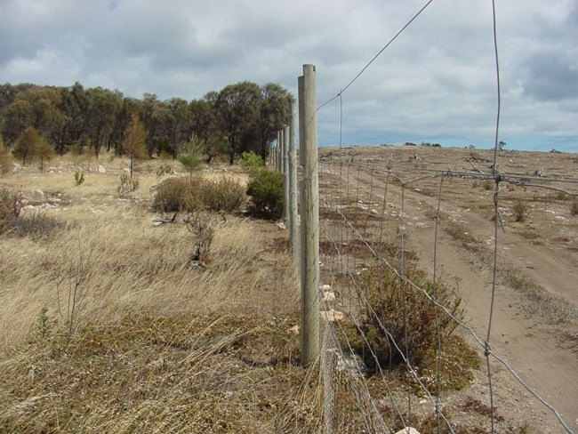 Sheoak restoration within grazing exclosure Coffin Bay NP