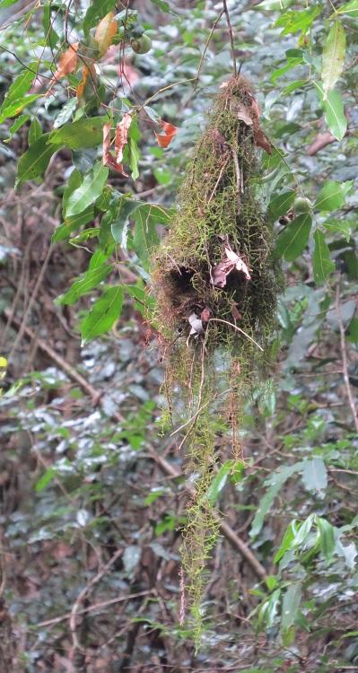 YT scrubwren nest full
