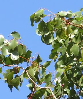 Bimblebox leaves.