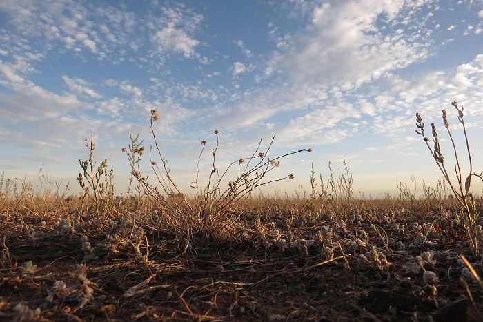 straggly grassland plants