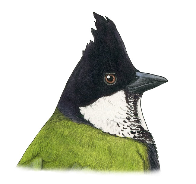 The Rainforest Birds of Gondwana