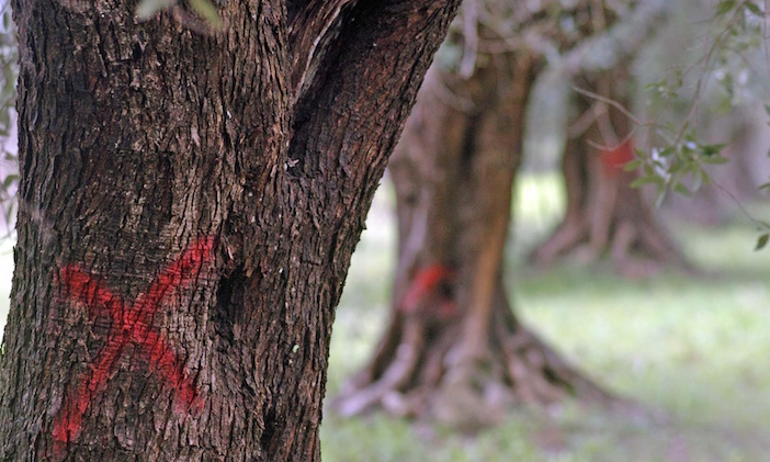 Red crosses painted on olive trees that need to be cut down to contain an outbreak of 'olive ebola' in Puglia, southern Italy.