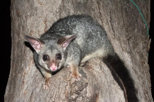 vad-possum