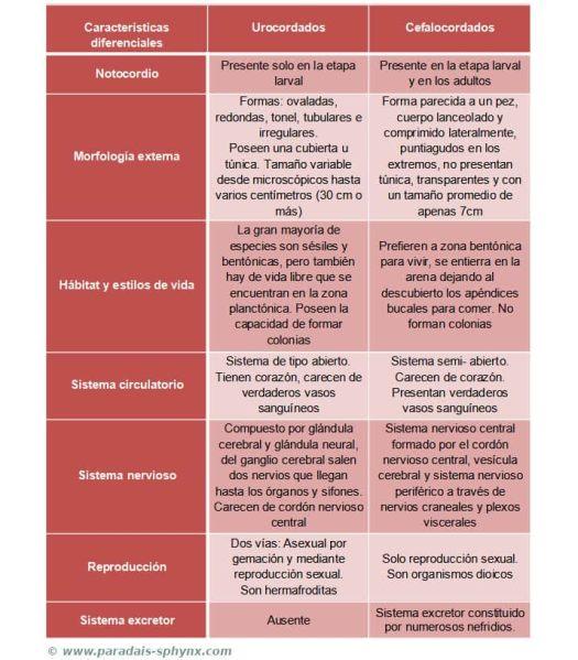 Cuadro comparativo con las diferencias entre urocordados y cefalocordados