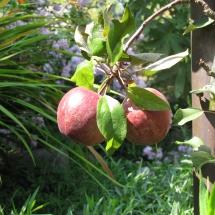 verschiene Apfelsorten