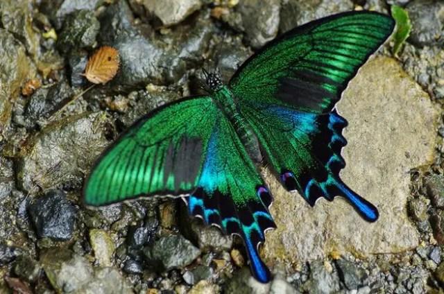 Papilio polyxenes 2