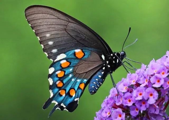 vlinder Battus philenor2