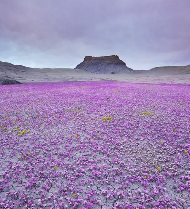 Waar kleurrijke dekens van bloemende woestijn sieren