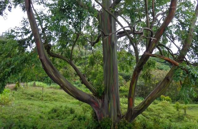 regenboog eucalyptus11