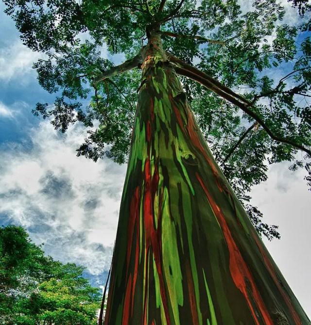 regenboog eucalyptus3