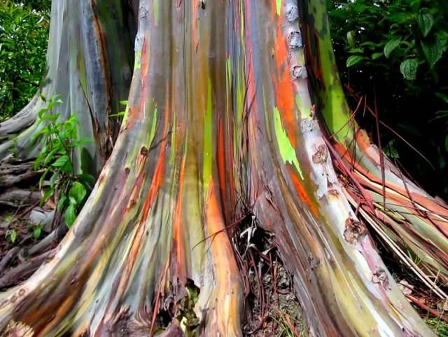 regenboog eucalyptus4