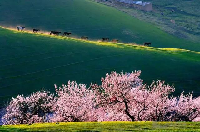 abrikozen-bloesem8