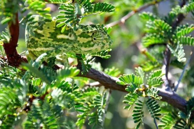 Camouflagedieren 10 - Chameleon