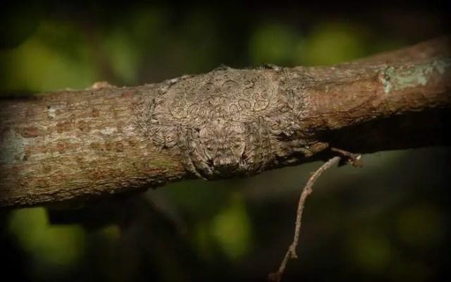 Camouflagedieren 14 - Dolophones conifera (wrap around spider)