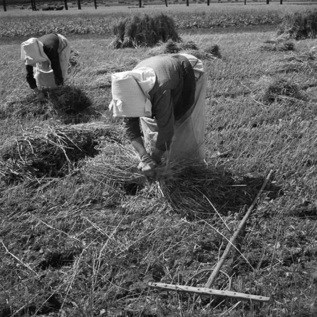 Getreideernte im Altmühltal, Deutschland 1930er Jahre. Cereal harvest at Altmuehltal valley, Germany 1930s.